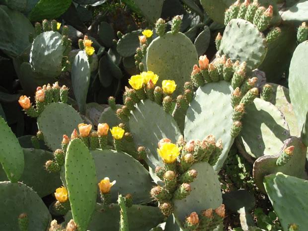 Cactus chumbera 4