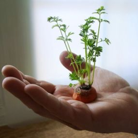 Tips para rebrotar zanahorias 2