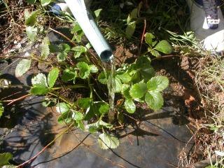 Reproducción de fresas 2
