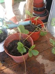 Reproducción de fresas 6