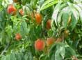 imagen Caqui: el árbol de las bayas naranjas