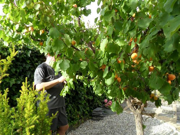 Rboles frutales el albaricoquero for Arboles frutales para jardin