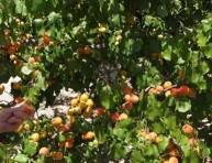 imagen Árboles frutales: el albaricoquero
