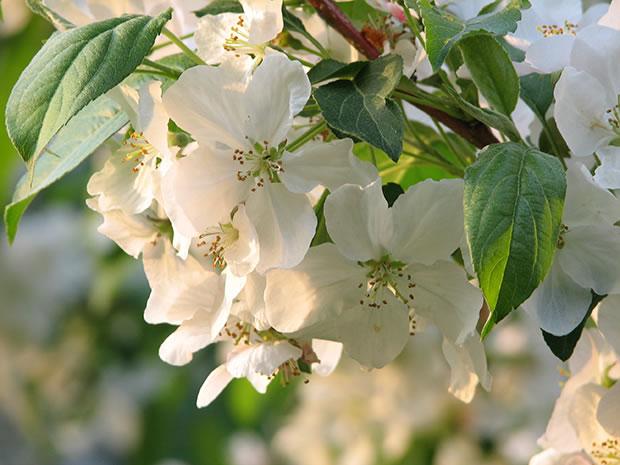 Rboles frutales el cerezo meteoblog ar for Arboles para jardin japones