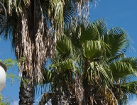 imagen Palmera washingtonia o Palmera de California