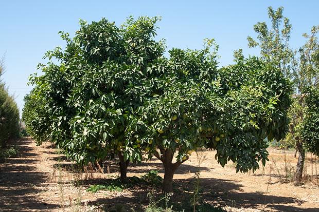 Rboles frutales pomelo for Arboles de hoja perenne sin fruto