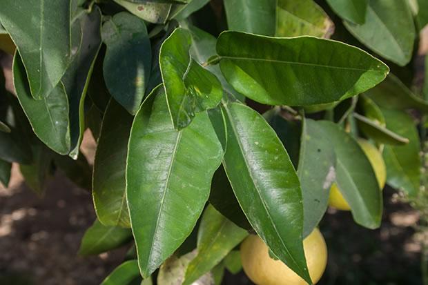 Rboles frutales pomelo for Arboles que no pierden sus hojas en otono