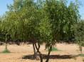 imagen La azofaifa: una planta milenaria