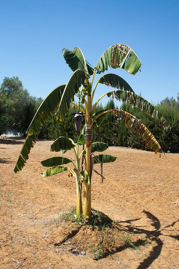 Rboles frutales la platanera canaria for Arboles para macetas de exterior