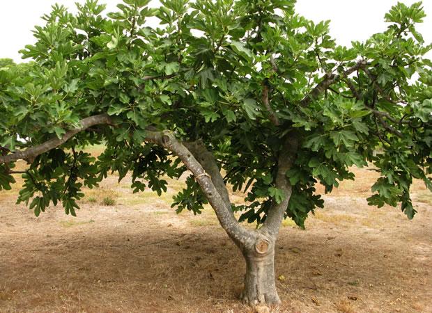 La higuera ventajas y peligros for Tipos de arboles para plantar en casa