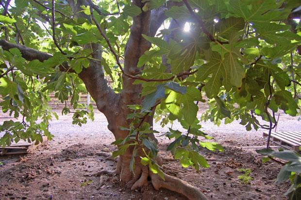 La higuera ventajas y peligros gu a de jardiner a for Arbol con raices y frutos