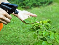 imagen Insecticida casero de ajo y menta
