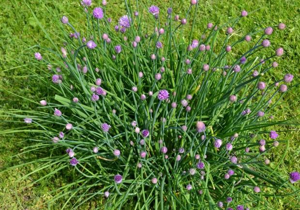 Bulbosas guia de jardineria jardines y plantas - Plantas aromaticas para jardin ...