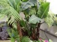imagen Árboles frutales: la platanera canaria