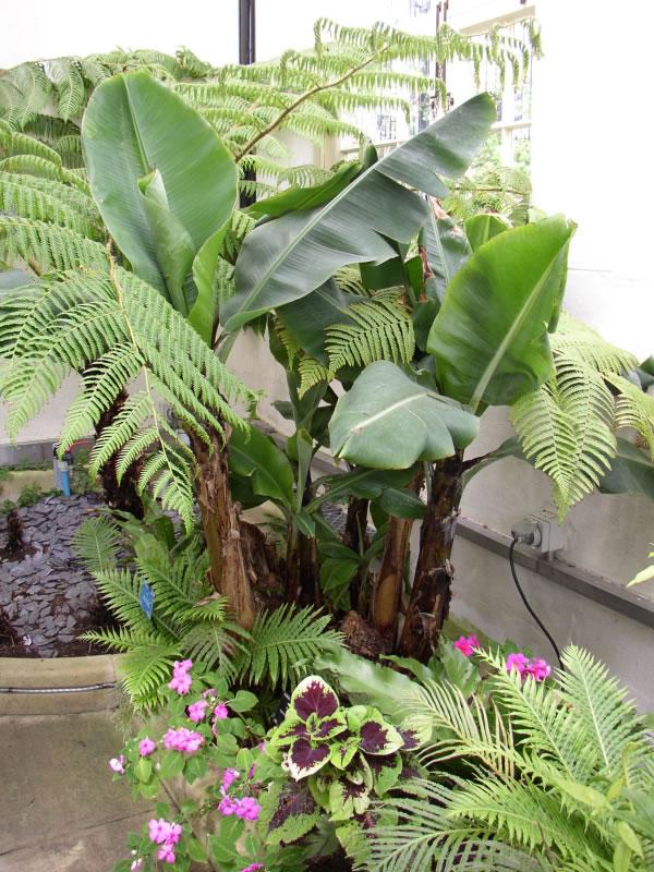 Rboles frutales la platanera canaria for Arboles y plantas de jardin