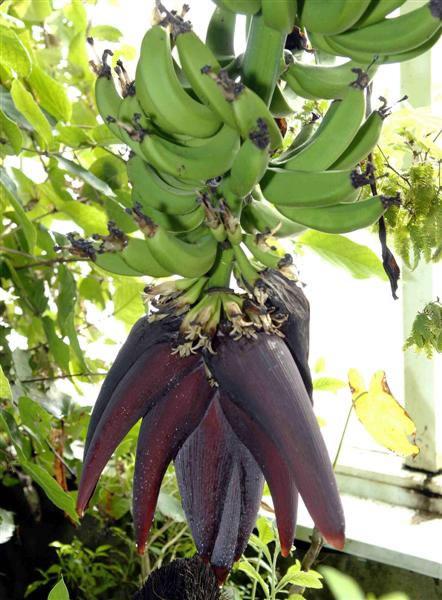 Rboles frutales la platanera canaria for Cultivo de arboles frutales en macetas