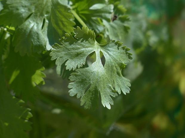 El cilantro 2
