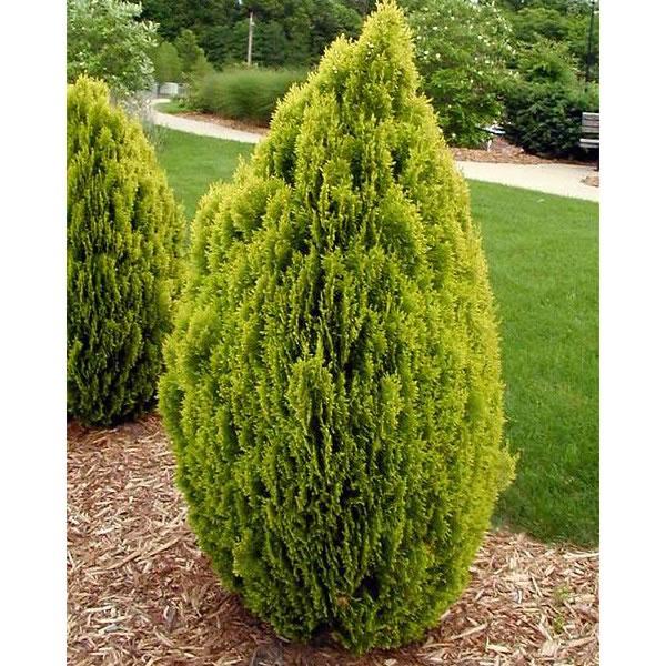 La tuya cinco variedades de cipreses en una denominaci n for Tipos de pinos para jardin fotos