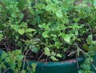 imagen Cómo cultivar hierbabuena en maceta