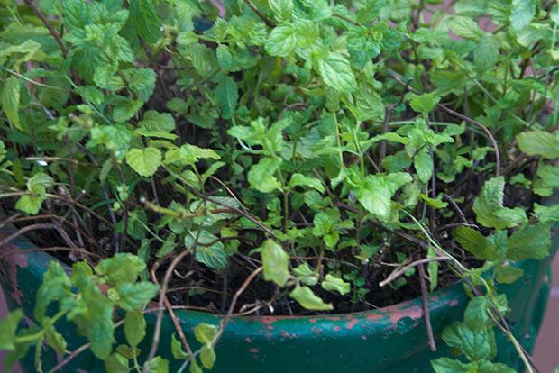 Cultivo de hierbabuena en maceta 1