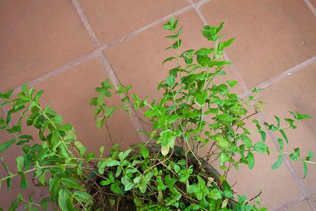 Cultivo de hierbabuena en maceta 2
