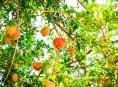 imagen Árboles frutales: el granado