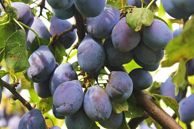 Prunus domestica 3