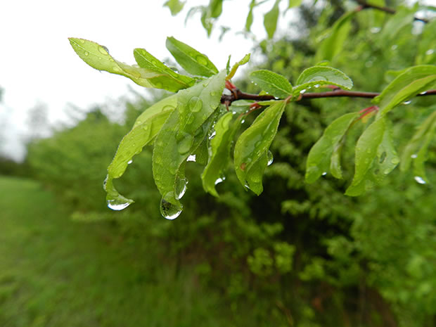 Rboles frutales el ciruelo europeo for Arboles frutales de hoja caduca