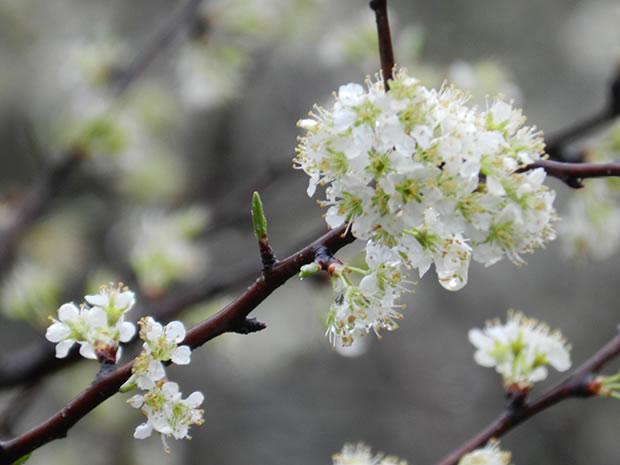 Rboles frutales el ciruelo europeo for Cuando podar cerezos y ciruelos