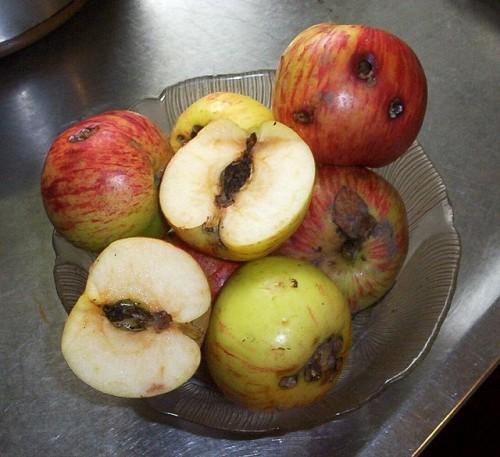 La carpocapsa o polilla del manzano 3