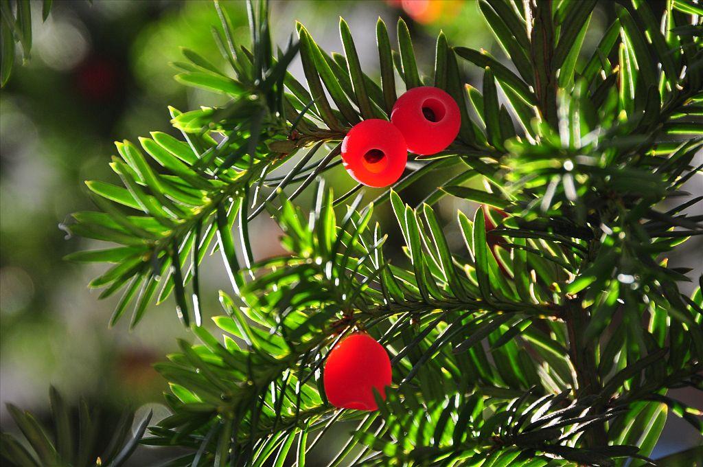 Taxus baccata 'fastigiata' o tejo irlandés 2