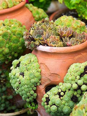 Gu a para el cultivo y cuidado de las suculentas for Cactus cuidados exterior