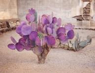 imagen La opuntia macrocentra o nopal violáceo
