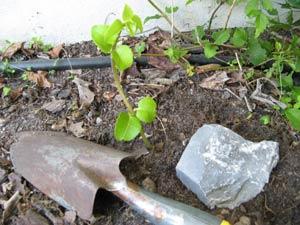 Reproducir arbustos por acodo 4