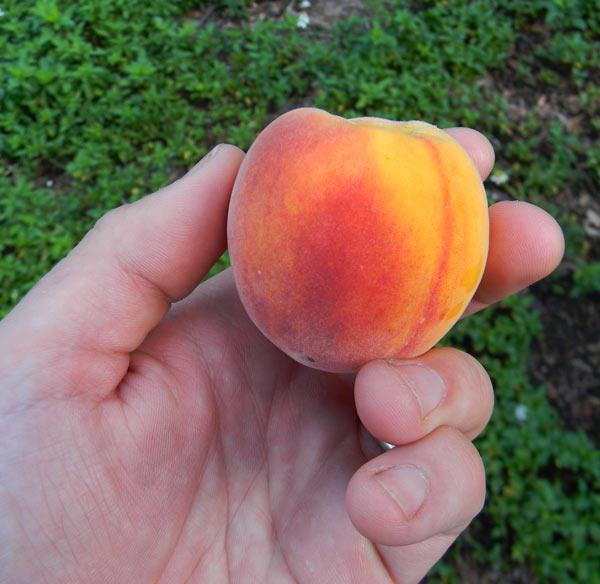 Árboles frutales de crecimiento rápido 3