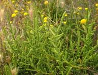 imagen La salicornia: el nuevo supervegetal