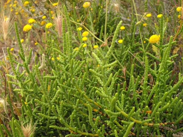 Salicornia 2