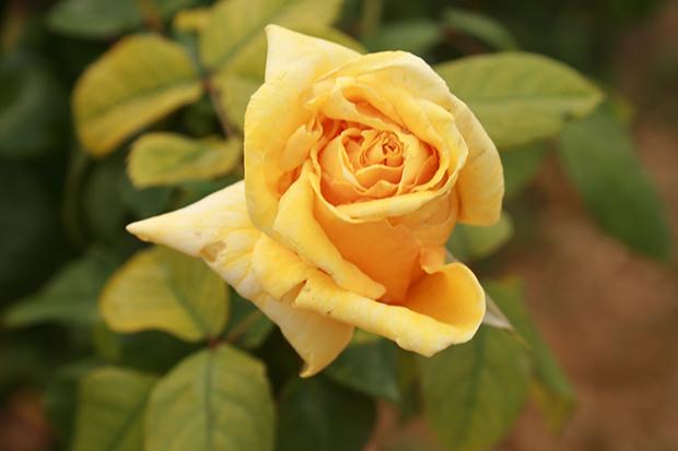 Rosa Mr Lincoln
