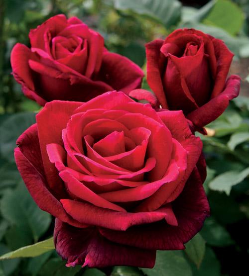Rosa Mr Lincoln 1