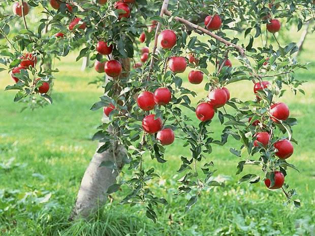 Cultivo de manzano