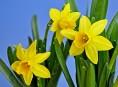imagen El narciso: la flor de perfume embriagador