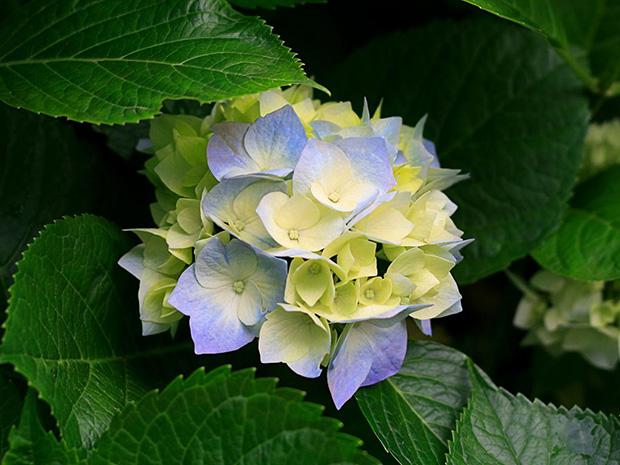 Color hortensias