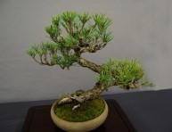 imagen Cultivo del pino como bonsái