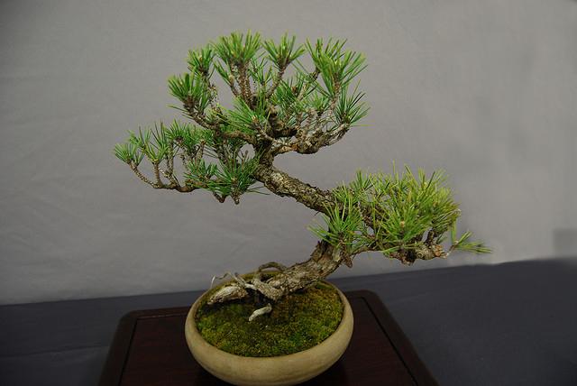 Pino bonsai 2