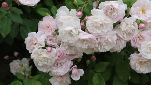 Rosas enanas