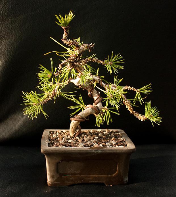 Pino bonsai 1