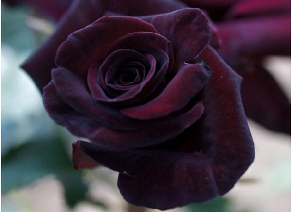 Rosas negras