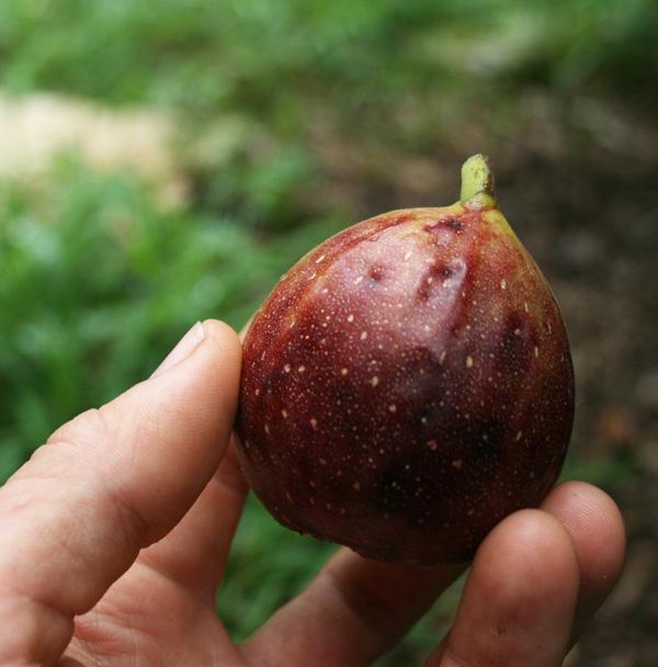 Frutales rápido crecimiento