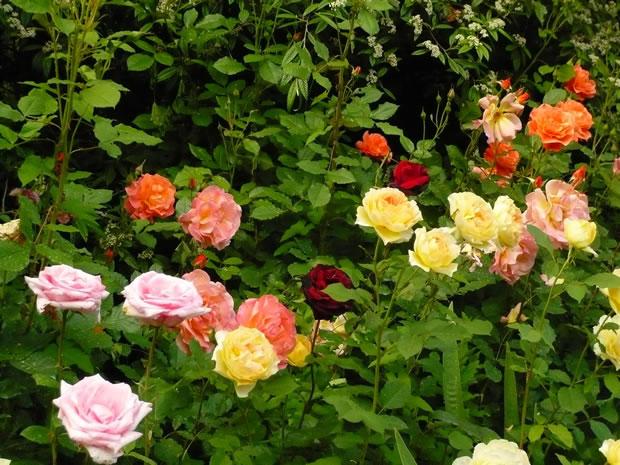 Grupos de rosales