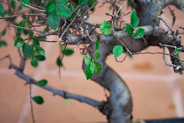 Primer bonsai